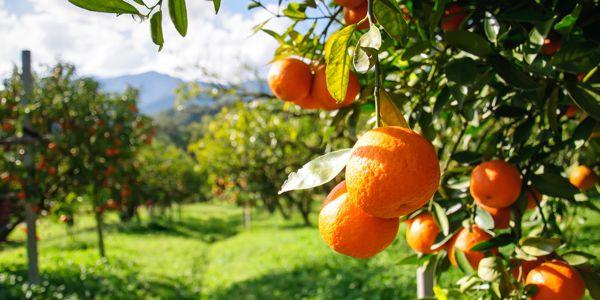 9 sinaasappels